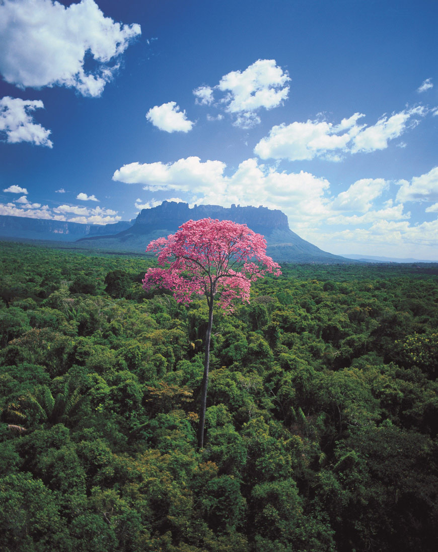 In the foreground, a puy (Eperua purpurea) flowers high above the general tree canopy in February. Beyond is the Auyantepui mountain, site of Angel Falls, the highest waterfall in the world.