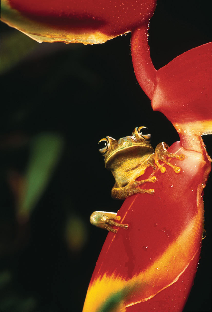 Hyla crepitans, a common frog from the forest perched on the flower of a Heliconia rostrata.