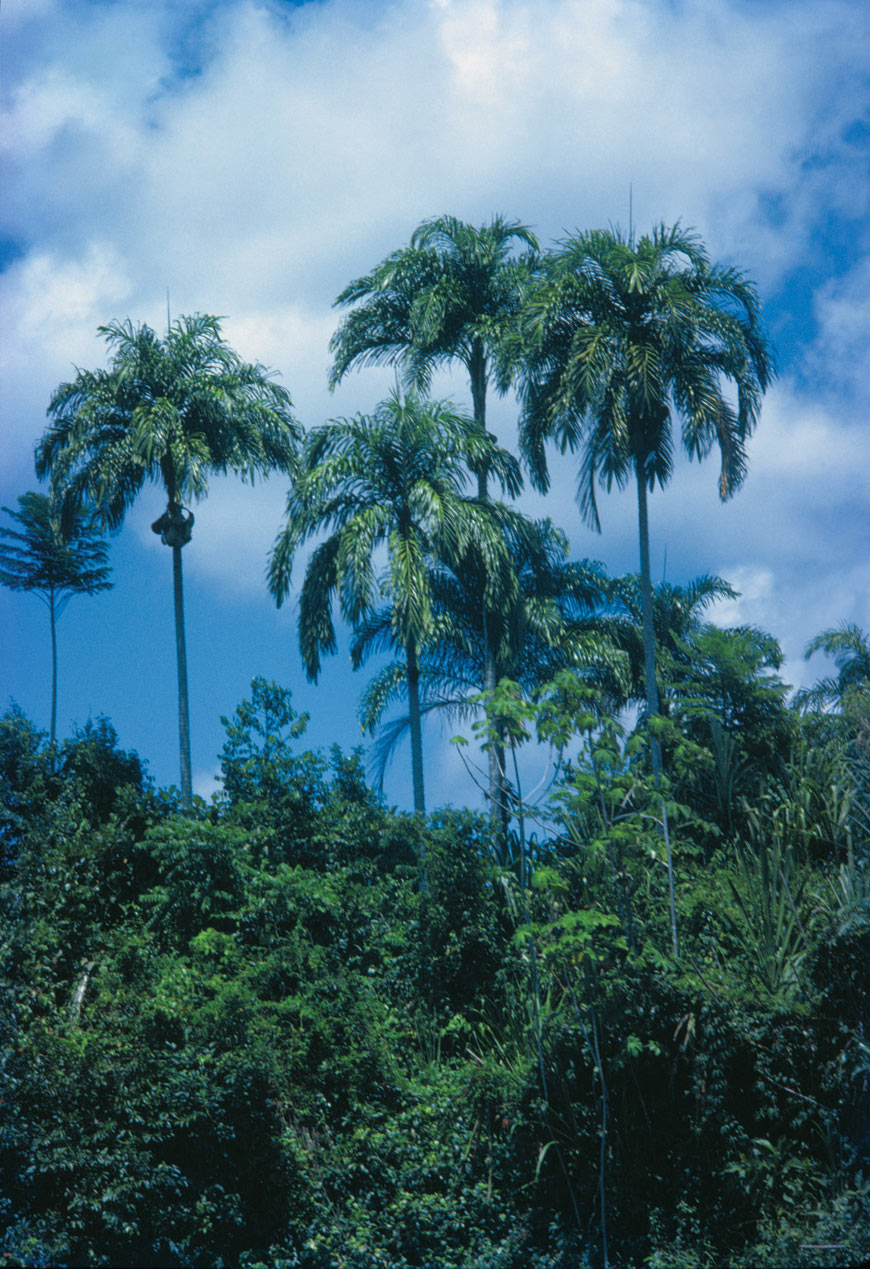 Bactris gasipae,known in Venezuela as the pijiguao palm, is a major source of food and has been cultivated by the indigenous people for 4000 years.